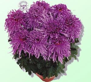 Piante crisantemo da vaso - Crisantemi in vaso ...
