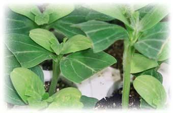 Piantine e piante da orto innestate