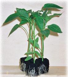 Sicilplants giovani piante per l 39 orto floricoltura for Piantine orto prezzi